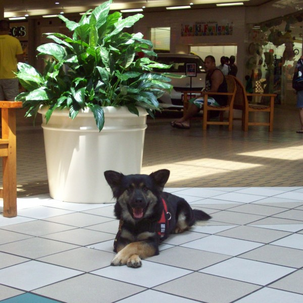 Properly Trained Service Dog Focused K9s Hawaii Certified